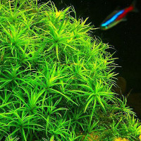 Star Grass Live Aquarium Plant
