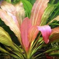 Rose Amazon Live Aquarium Plant