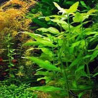 Gymnocoronis Spilanthoides Live Aquarium Plant