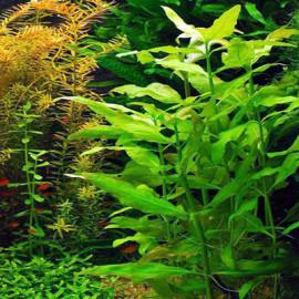 Gymnocoronis Spilanthoides by www.aquastore.in