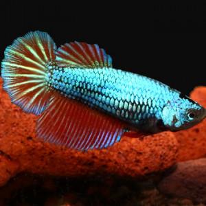 Female Betta - Red Dragon