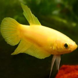 Female Betta - Yellow