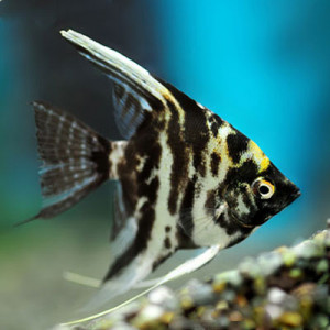 Marble Angel Fish