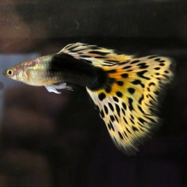 HB Leopard Guppy – 1 Pair by www.aquastore.in