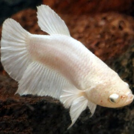 Female Betta - Milky White