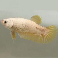 Female Betta - Yellow Dragon