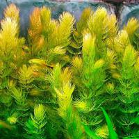 Ceratophyllum Demersum Live Aquarium Plant