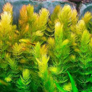 Ceratophyllum Demersum by www.aquastore.in