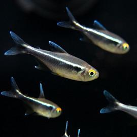 Black Neon Tetra Fish
