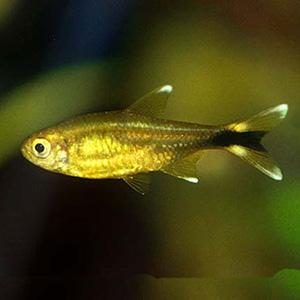 Silver Tip Tetra Fish