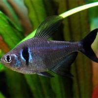 Black Phantom Tetra Fish