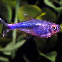 Blue King Tetra Fish