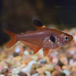 Red Phantom Tetra Fish
