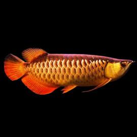 Hiback Golden Arowana Fish by www.aquastore.in
