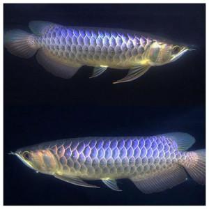 Blue Base Golden Arowana Fish - 12 inch
