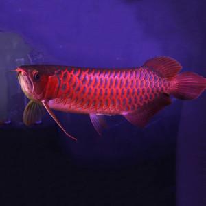 Supreme Red Arowana Fish - 12 inch
