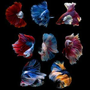 Assorted Full Moon Betta Fish (Wholesale) - 5 Nos
