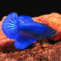 Female Betta - Royal Blue