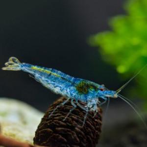 Aura Blue Fresh Water Shrimp