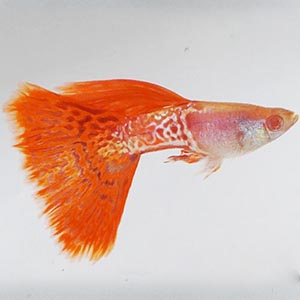 Red Lace Guppy Fish