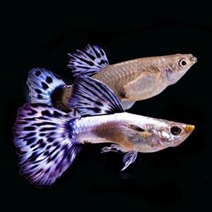 Purple Mosiac Guppy Fish