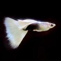 White Tuxedo Guppy Fish
