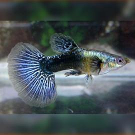Blue Eagle Guppy Fish by www.aquastore.in