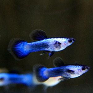 Blue Panda Guppy Fish