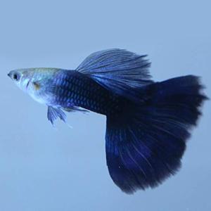 HB Blue – 1 Pair by www.aquastore.in