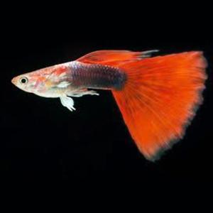 Red Tuxedo Guppy Fish