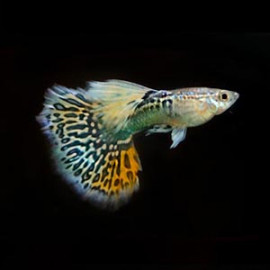 Mosaic Guppy – 1 Pair by www.aquastore.in