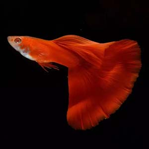 Full Red Fan Tail Guppy Fish