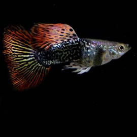Dragon Big Ear Guppy Fish by www.aquastore.in
