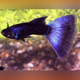 Peacock Blue – 1 Pair by www.aquastore.in