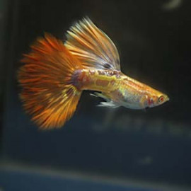 Albino Red Pheonix Guppy Fish by www.aquastore.in