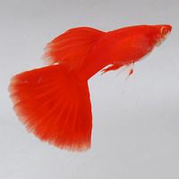 Albino Full Red Guppy Fish