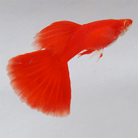 Albino Full Red High Dorsal Guppy Fish by www.aquastore.in