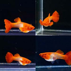 Albino Koi Red Ear Guppy Fish by www.aquastore.in