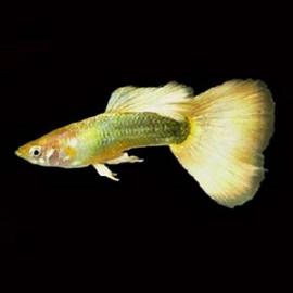 Full Gold Guppy Fish by www.aquastore.in
