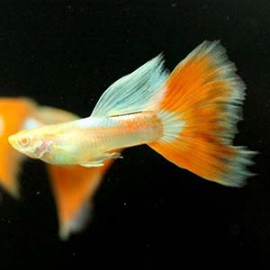 Albino Red Topaz Guppy Fish by www.aquastore.in