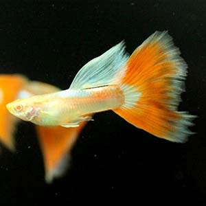 Albino Red Topaz Guppy Fish