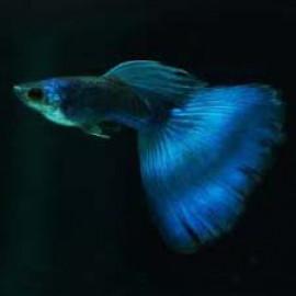 Electric Blue Guppy Fish by www.aquastore.in