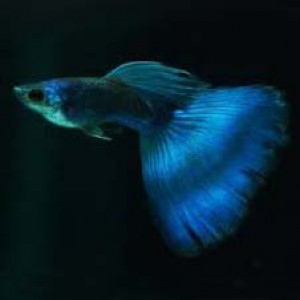 Electric Blue Guppy Fish