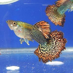 Red Dragon Guppy Fish