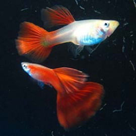 Wild Red – 1 Pair by www.aquastore.in