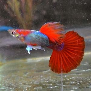 Brazilian Fan Tail Red Guppy Fish by www.aquastore.in