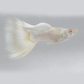 Platinum White – 1 Pair by www.aquastore.in