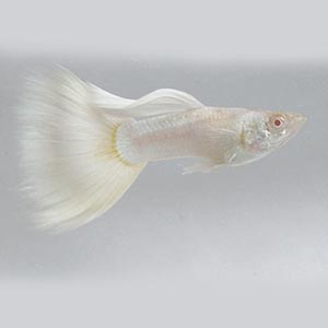 Platinum White Black Eye Guppy Fish