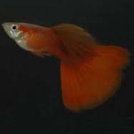Full Red Black Eye Guppy Fish by www.aquastore.in