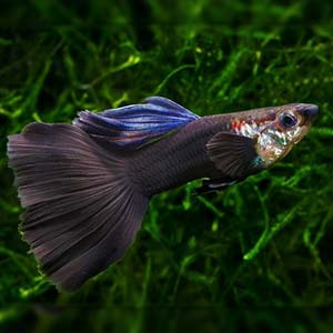 Dumbo Moscow Guppy Fish by www.aquastore.in